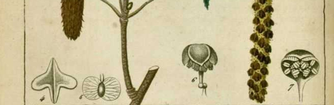 3-bouleau-blanc-detaille